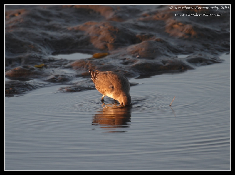 Dunlin  in the setting sun, Robb Field, San Diego River, San Diego County, California, October 2011