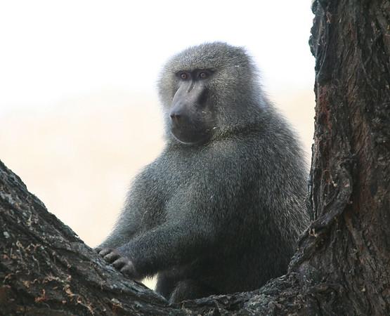 Monkey Baboon Tanzania 2006 2009 2010