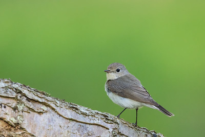 Flycatchers / Flugsnappare