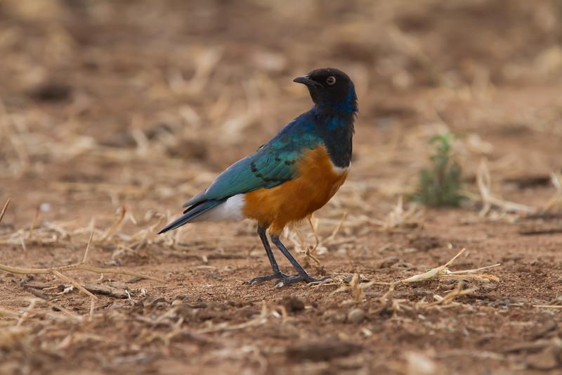 Superb Starling - Tarangire National Park, Tanzania