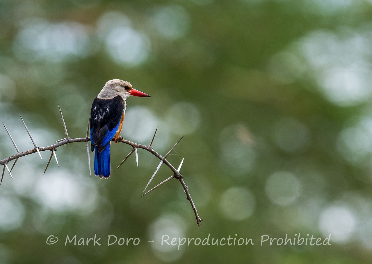 Grey-headed Kingfisher, Lake Manyara, Tanzania