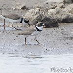 Semiplamated Plovers