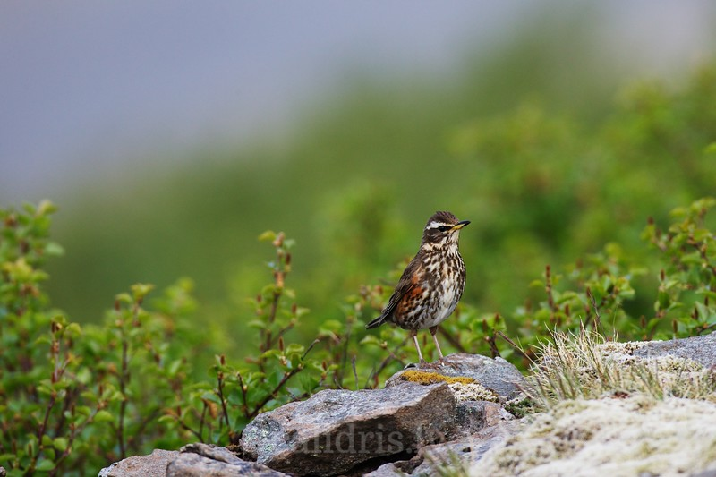 Redwing on a rock