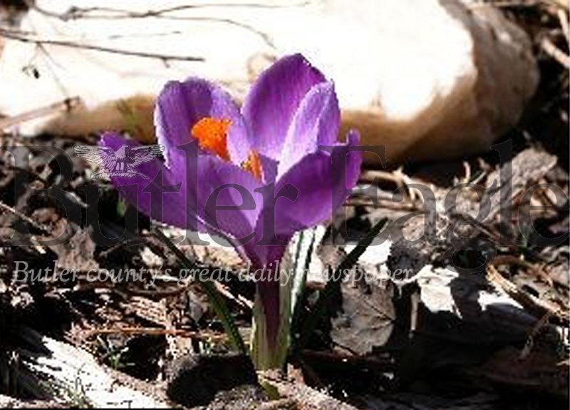 Plant Bulbs in the Fall for a Spring Celebration like this crocus. Master Gardeners G.A. Cooper/submitted photo