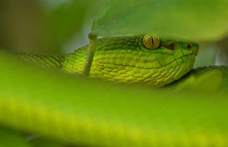 Red-tailed-bamboo-pit-viper-sundarbans-1.jpg