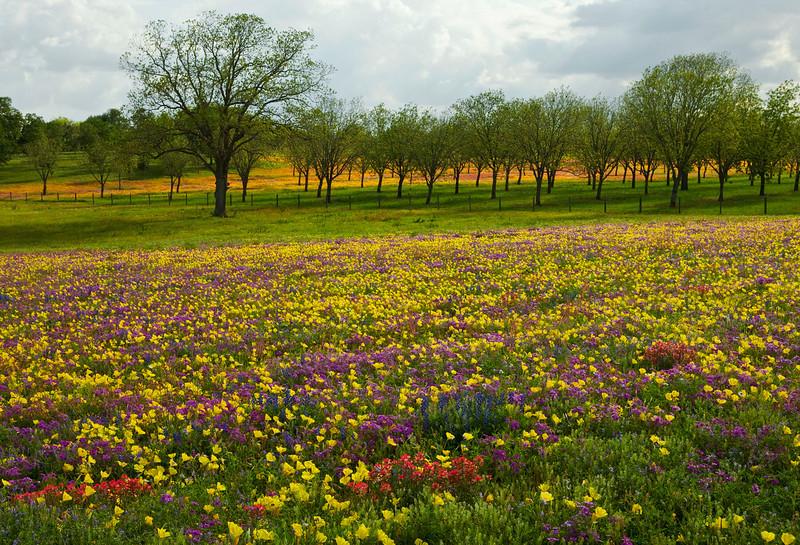 Texas wildflowers 571