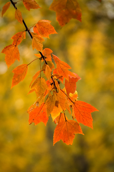 maple leaves -00466.jpg