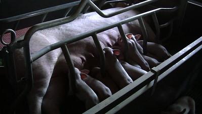 Tour d'horizon - élevages de cochons