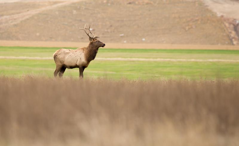 Bull Elk. 4207