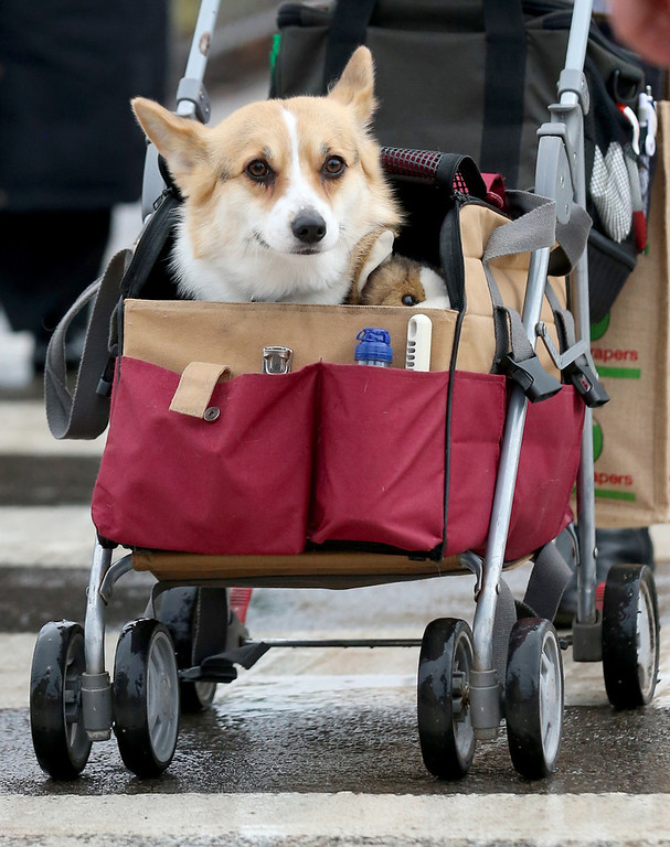 . A dog is pushed in child\'s pushchair as dogs and their owners arrive to attend the first day of Crufts dog show at the NEC on March 6, 2014 in Birmingham, England. Said to be the largest show of its kind in the world, the annual four-day event, features thousands of dogs, with competitors traveling from countries across the globe to take part. Crufts, which was first held in 1891 and sees thousands of dogs vie for the coveted title of \'Best in Show\'.  (Photo by Matt Cardy/Getty Images)
