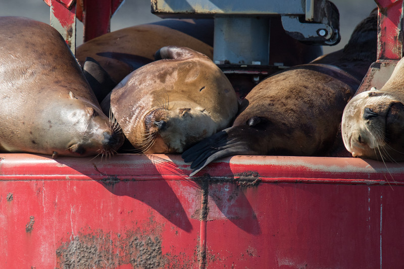 Sea Lions Petersberg Alaska-2.jpg