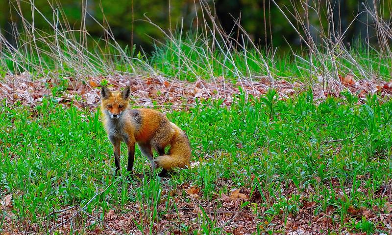 fox mom.JPG
