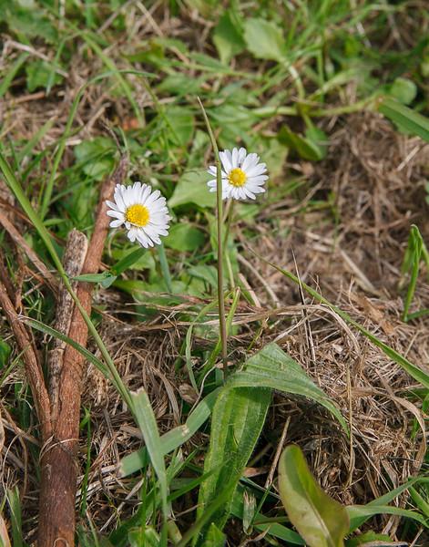 Daisy, Bellis perrinis