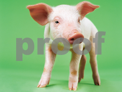 pig-blamed-for-house-fire-near-austin