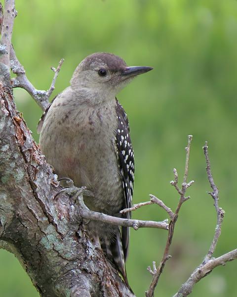 sx50_red_bellied_woodpecker_fledgling_bit_222.jpg