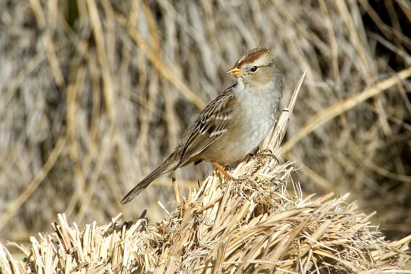 Sparrow - White-crowned - juvenile - Bosque del Apache NWR - NM