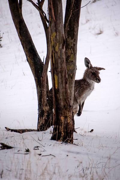 Roo in snow Aug 8- 1_1.jpg