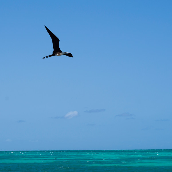 Frigatebird flying over Caribbean Sea, Half Moon Caye, Lighthouse Reef Atoll, Belize