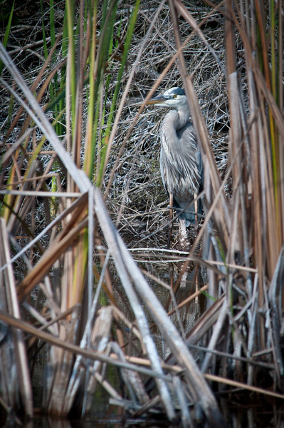 Great Blue Heron takes cover at Ding Darling Bailey Tract