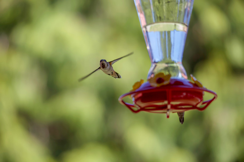 humming bird (8 of 55).jpg