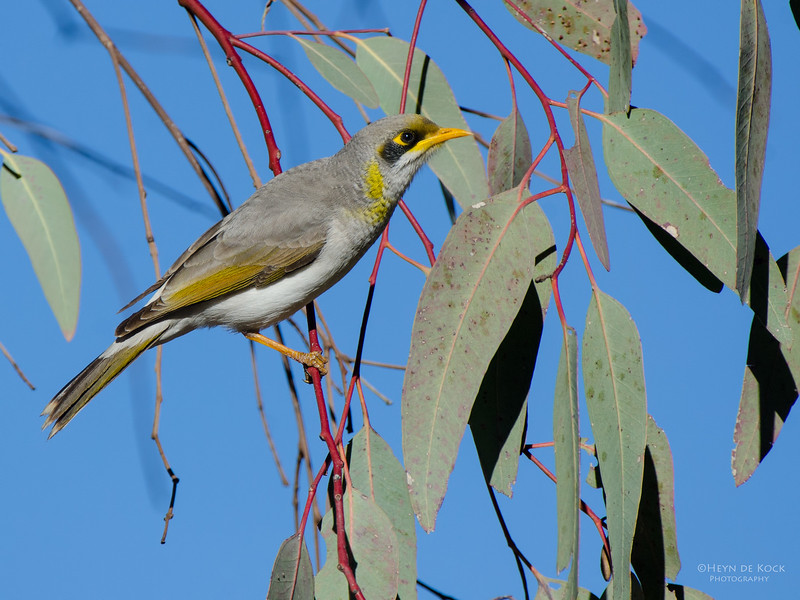 Yellow-throated Miner, Olive Pink Botanical Gardens, NT, Aus, Jun 2012.jpg