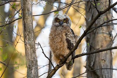 Great Horned Owl Family of 2021