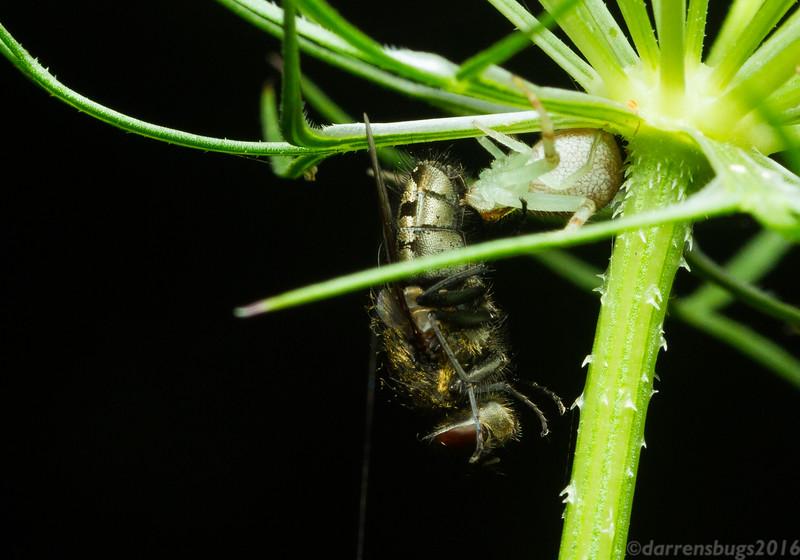 A crab spider (Thomisidae: genus Mecaphesa), subdues a much larger cluster fly (Calliphoridae: genus Pollenia) on Queen Anne's Lace, Daucus carota, in Iowa.