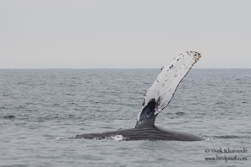 "Humpback Whale ""fin flapping"" - Near Moss Landing, CA, USA"