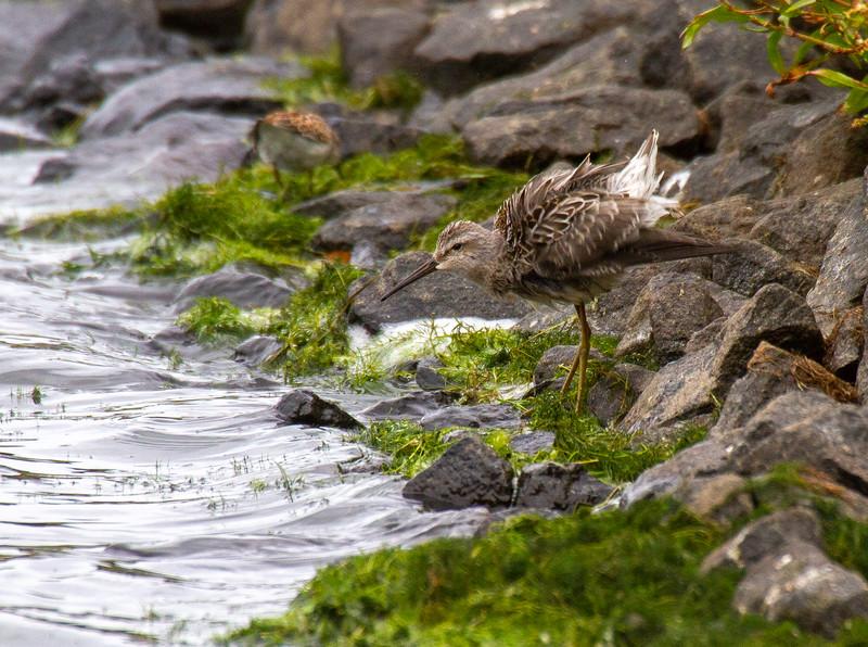 Stilt Sandpiper juvenile Beaver Bay Sewage Ponds Lake County MN IMG_1755.jpg