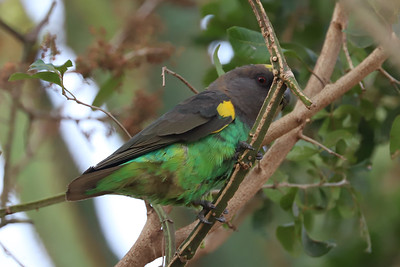 Brown Parrot