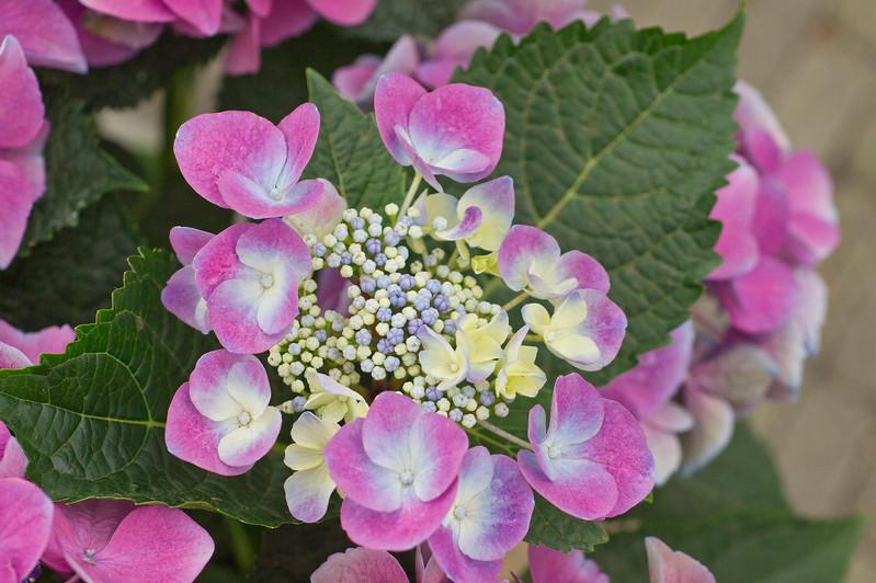Purple  Hortensia