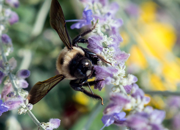 08/19/19 Wesley Bunnell | Staff A bee lands on a Russian Sage bush at the east side community garden on Monday August, 19, 2019.