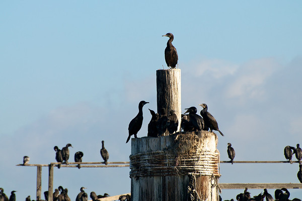 Cormorants - Elkhorn Slough