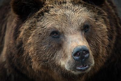 Bear | Bär