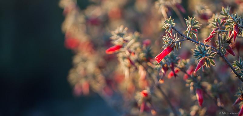 Sunset flowers near Wonga camp,  Wyperfeld np
