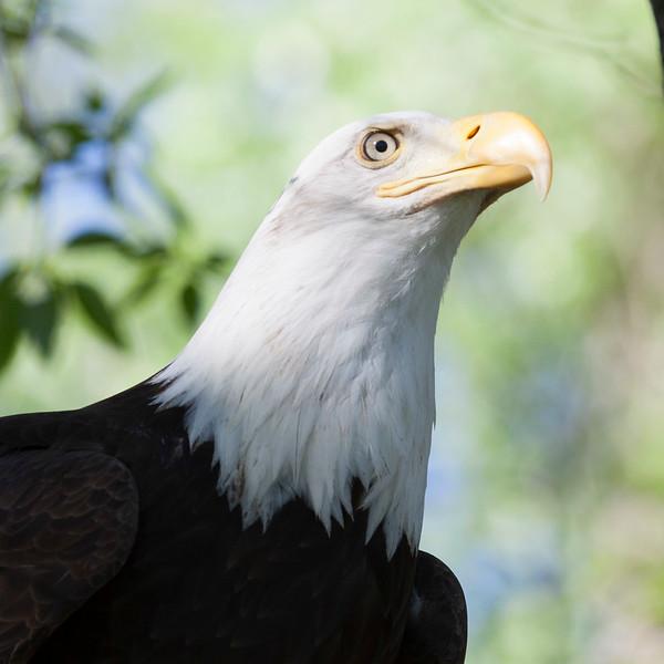 Eagle Profile Pic.jpg