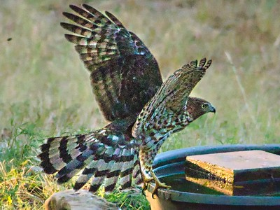 Cooper's Hawk - An Evening Visit To The Water Tub