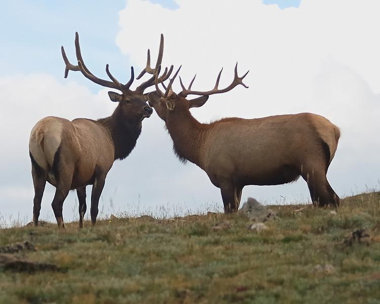 Bull Elk on Trail Ridge Road.jpg