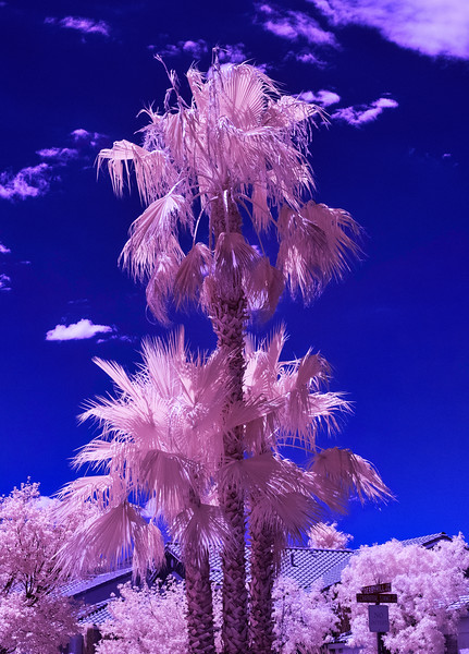 Pink Palm YTree.jpg