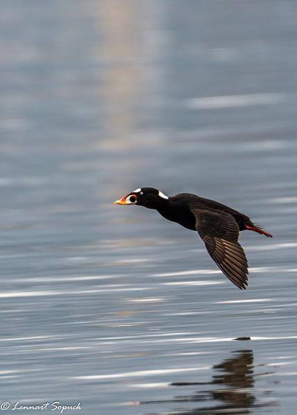 Pat Bay Winter Birds 2021