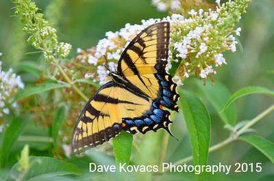 Butterflies 7-29-15