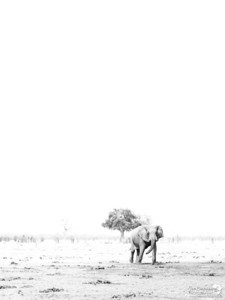 Ghostly elephant in the open plains