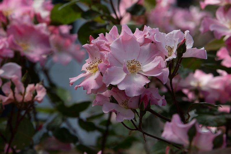 Sparrieshoop Rose close-up