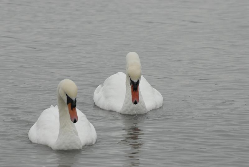 070903 8338 Canada - Victoria - Fort Rodd Hill and Canada geese _F _E ~E ~L.JPG