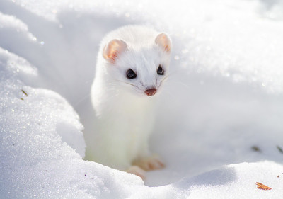 Ermine/Short-tailed Weasel