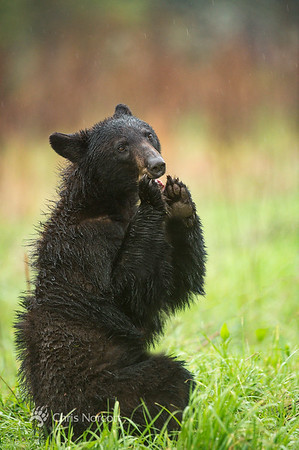 Black Bears of the Great Smoky Mountains