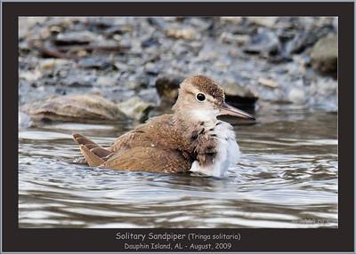 Solitary Sandpiper
