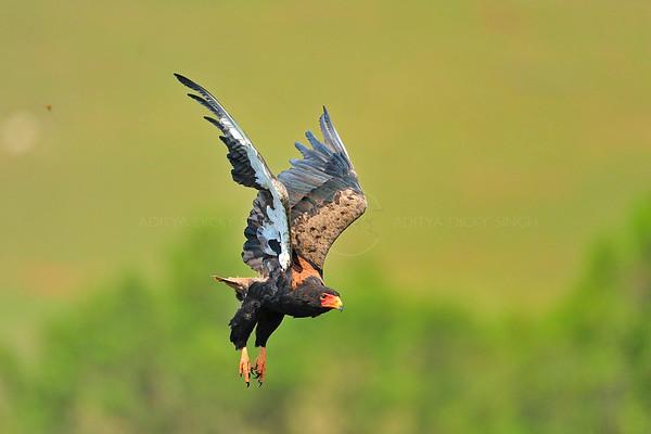 """""""Bataleur eagle in flight"""""""