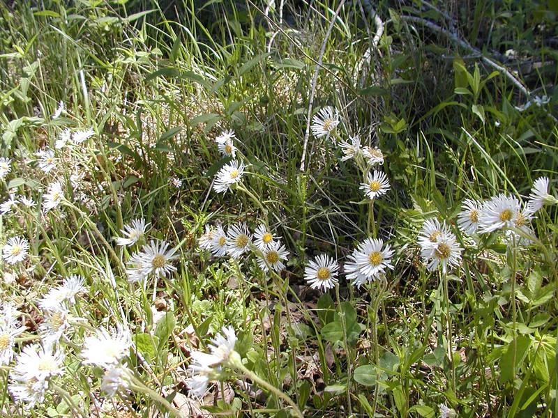 Robins Plantain along Jewett Road on Hinch Mountain TN