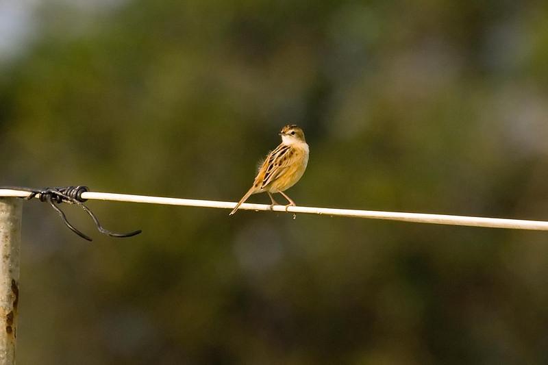 Zitting Cisticola (1) at Long Valley, Hong Kong, China (11-8-08).psd